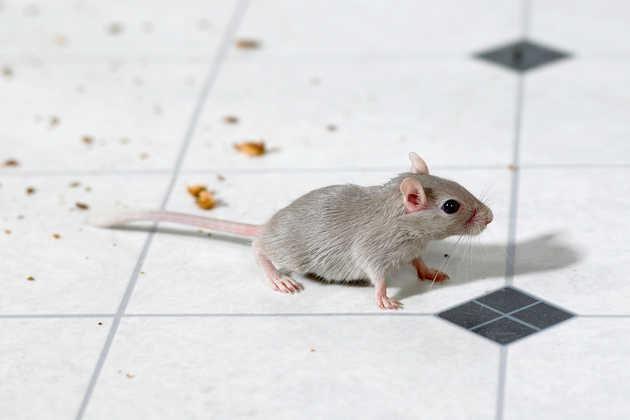 Mice Pest Control Los Angeles